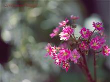 箱根湿性花園で大文字草を観た