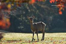 CX-3でゆく撮影ドライブ 奈良公園 鹿と紅葉