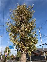 いつもと違う銀杏並木