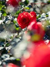 Autumn Rose Ⅰ