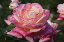 Roseに魅せられて♡