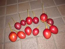 タマリロ収穫しました。