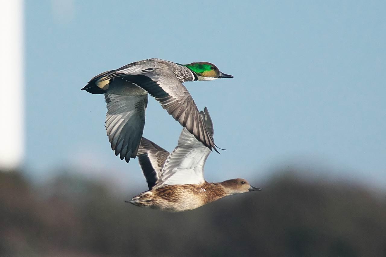 マイフィールドの鴨