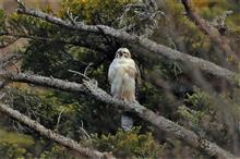 今年最後の鳥撮りは、クマタカ幼鳥で締めくくり