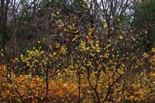 ロウバイ咲く……Z33
