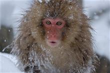 snow monkey に会いに