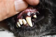 犬の歯石取り@犬は歯が命です