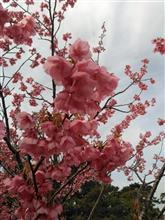 一足早く土肥桜