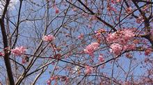 桜を見に行ったはずが...