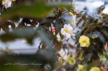 ベゴニアは春の装い