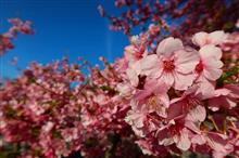 神奈川Touring!早咲き桜と煌びやかな雛祭り(観桜編)♪