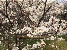 梅の花が綺麗な季節です