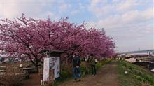 河津桜が茅ヶ崎にもあります