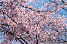春🌸大寒桜を中心に☆