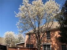 Peak in blooming of cherry blossoms in Texas.