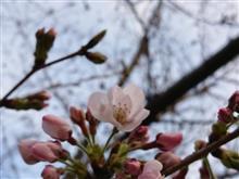 my基準木も開花しました