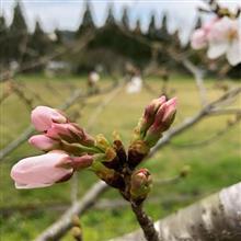 桜を探してポタリング
