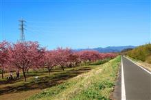 翔ばない県内の桜はどうなっている