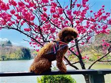 三ツ池公園で花見散歩