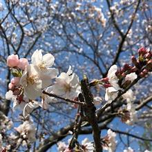 今週も桜を探してポタリング