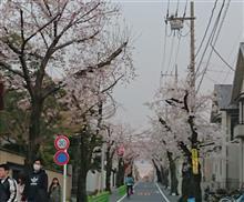 桜新町、深沢地区の桜