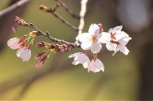 桜満開まであと少し。