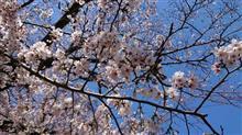 桜、も少し待ちます