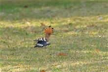 近所の公園に珍鳥ヤツガシラお出まし