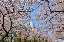 桜と太陽の塔と大陶器市
