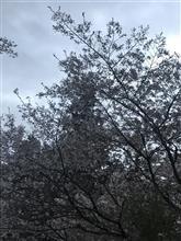 注意1秒 ケガ一生  私のフィットさんが桜のラッピング状態に