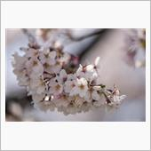 桜撮影オフ行ってきました