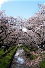 川越、新河岸川の桜。