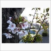 桜さんぽ。。。 ぱ〰️と🌸 ...
