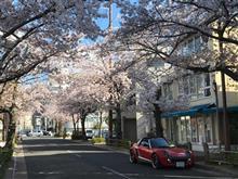 桜・サクラ・さくら