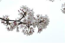 桜並木に梨畑