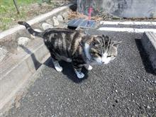 ラーメン屋さんの猫さん 人懐っこく 可愛いです