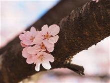 桜と自転車!