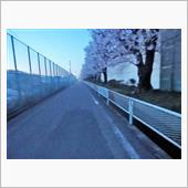 夜桜のお散歩今週毎晩しています