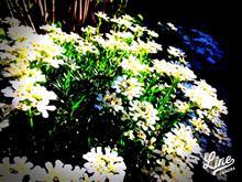 土曜の朝の花壇、