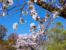 小金井公園 C63と名残りの桜