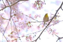 夜勤明けの桜散歩