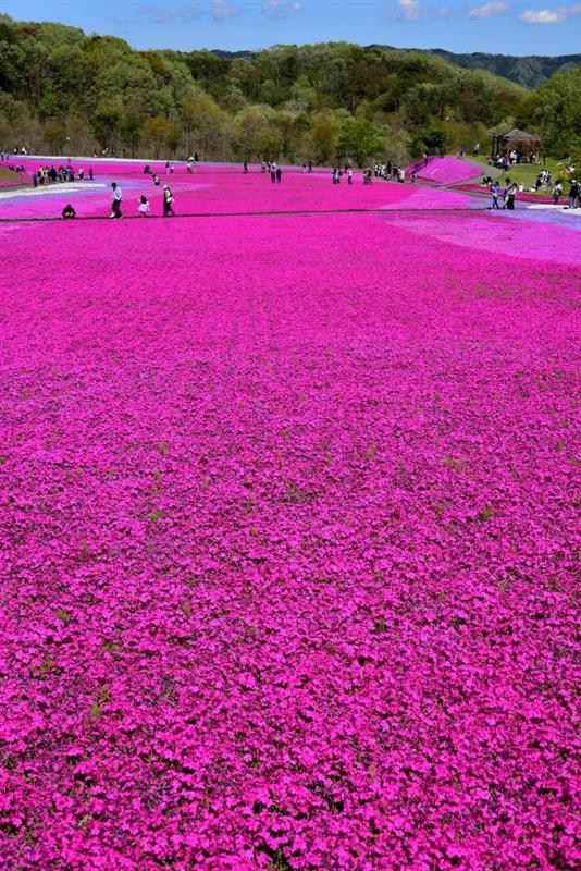 芝桜(市貝町芝ざくら公園)
