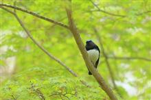GW鳥撮り第3弾は、御殿場市の富士山麓へ