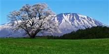 天晴!一本桜