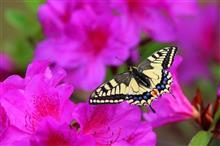 つつじとアゲハ蝶など
