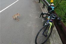犬かと思ったら野生のキツネだった