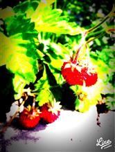 苺の季節、