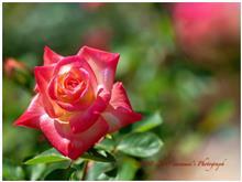 <1,300回目のブログ> 春バラ🌹開花♪