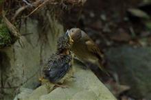 サンコウチョウの森で、オオルリ雛の巣立ち