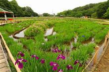 東村山北山公園、花菖蒲まつりの事前チェックでカルガモなどを